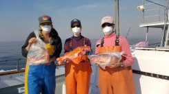 Collecting rockfish for reproductive samples