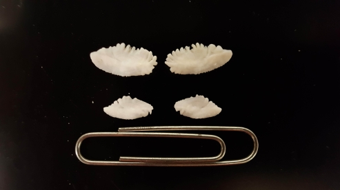 Two sets of Cowcod otoliths. The top set is from a large fish and the bottom from a smaller sized fish.