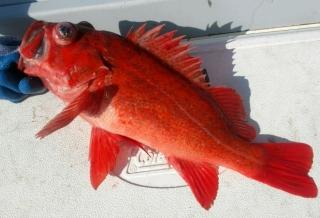 Vermilion Rockfish caught in Monterey Bay (Photo K. Hanson)